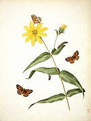 Butterlfies Metitaea ismeria on a sunflower Helianthus tracheliifolius. Plate 34 from Volume 16 by John Abbot 1751_1840.