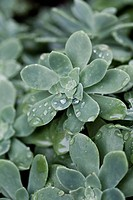 succulent plant with drops of water