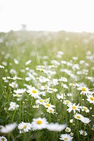 Daisies growing in a country meadow