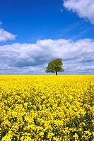 A single tree in a field of yellow oil seed rape