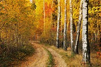 Forest path and birch trees in autumn