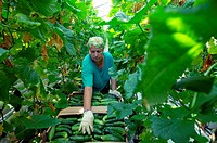 Cucumber harvest. Worker harvesting cucumbers in a greenhouse. Photographed in Veliky Novgorod, Russia.