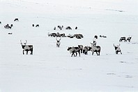 Reindeer herd. Herd of reindeer Rangifer tarandus. Photographed in Chukotka Autonomous Okrug, Russia.