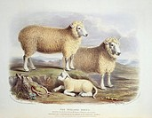 Ryeland Sheep. 19th_century artwork of a ram, ewe and lamb of the Ryeland Sheep, a breed of the domesticated sheep Ovis aries. This artwork is from th...