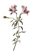 Lily Lilium sp. flowers. Illustration by Garrit van Spaendonck 1746_1822.