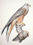 Red kite Milvus milvus. Plate 13 from ´Watercolour drawings of British Animals´ 1831_1841 by Scottish naturalist William MacGillivray.