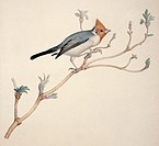 Red_crested cardinal Paroaria coronata. Plate 157 from ´Watercolour drawings of British Animals´ 1831_1841 by Scottish naturalist William MacGillivray...