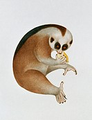 Slow loris Nycticebus coucang. This illustration is from the John Reeves Collection of botanical and zoological drawings from Canton, China. John Reev...