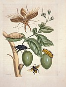 Insects of Surinam. 18th_century artwork showing a variety of insects on a plant. The insects include a stag beetle Lucanus cervus, upper left, the So...