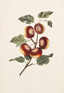 Apples Malus communis, 19th_century artwork. This illustration is from ´Full Instructions for the Young Artist: a companion to the Treatises on Flower...