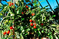 bright red tomatoes grow on vines