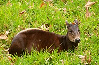 Yellow-backed duiker Cephalophus silvicultor, captive animal