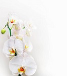 white orchid over grey and white