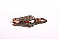 Mountain newt
