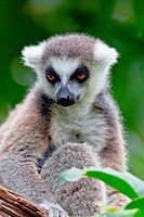 Lemur of ring_shaped tail ,Lemur catta