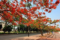 Krishnochura or Peacock Flower tree at Crescent Lake, Dhaka, Bangladesh