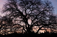 A bare-branched winter oak is silhouetted against the dawn sky