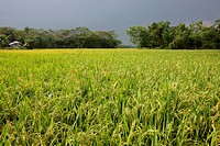 A paddy field at Rajshahi district of Bangladesh
