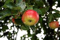 Malus/Apfel