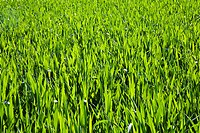 green field with corn