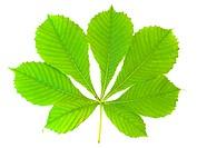 chestnut leaf