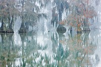 Cypress trees in fog, Bayou, New Orleans, Louisiana, USA