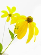 yellow daisy on white background