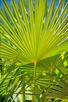great leaf palm