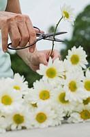 Woman cutting fresh daisies with pruning shears, cropped