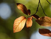 Yellow leaves in garden tree  Cherry plum Prunus cerasifera.