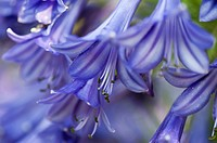 Agapanthus African lily, summer-flowering perennial, close up of flower head