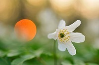Wood anemone Anemone nemorosa at sunset, Leipzig floodplain forest, Saxony, Germany, Europe