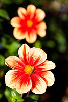 Dahlia flowers blooming