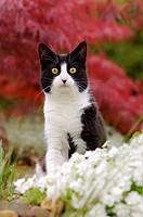 Hauskatze, Europaeisch Kurzhaar, schwarz weiss, im Garten vor rotem Faecherahorn / Bicolor cat, European Shorthair, black white, in a garden in front ...