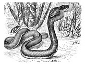 Monocled cobra (Naja tripudians), historical illustration, Meyers Konversations-Lexikon encyclopedia, 1897