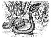 Monocled cobra (Naja tripudians), historical illustration, Meyers Konversations-Lexikon encyclopedia, 1897