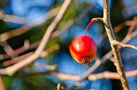 Small red apple hanging on the apple tree branche.