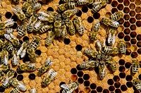 Carnica bees (Apis mellifera carnica) at their partly covered brood combs, Nuertingen, Bavaria, Germany, Europe