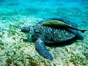 Turtle and suckerfish