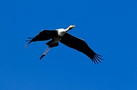A large painted stork soaring high in the sky