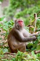 Monkey ape eating the seeds