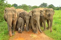 Wild Indian elephants Elephas maximus defense position. Wasgamuwa National Park Sri Lanka