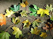 Yellow leaf nature color at autumn