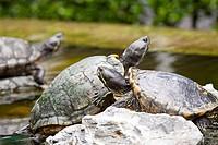 Tortoises on stone