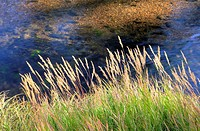Grasses on the Banks of the Gibbon River, Yellowstone National Park, Wyoming, USA