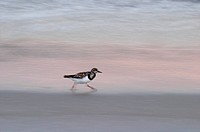 Sandpiper running along at edge of water on beach in Florida