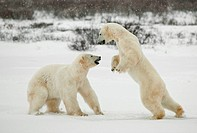 Fighting polar bears.