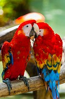 Scarlet macaw, Xcaret Park Eco-archaeological Theme park, Riviera Maya, Quintana Roo, Mexico\