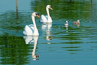 Mute swans with cygnets in morning light  Cambourne, Cambridgeshire, England