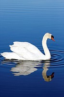 Mute Swan with reflection in blue water  Richard DeKorte Park, Lyndhurst, NJ, USA